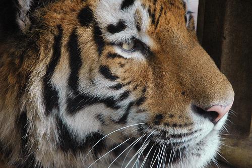 sziberiai-tigris