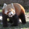 A vörös panda (vörös macskamedve)