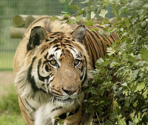 begali-tigris