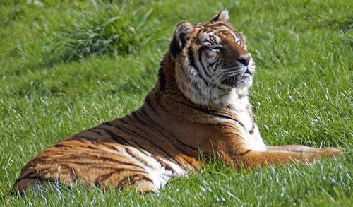 bengali-tigris-foto