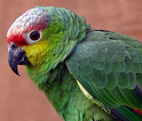 amazon-papagaj