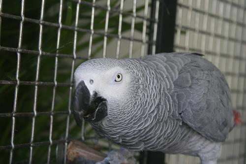 afrikai-papagaj