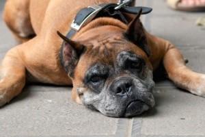 Külön odafigyelést igényelnek az öregedő kutyák