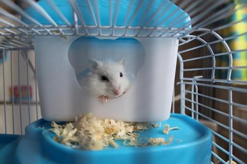 hamster-2724477_640