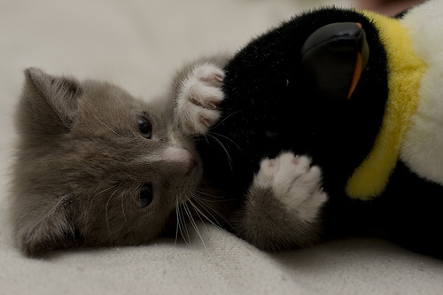 kiscica-jatszik