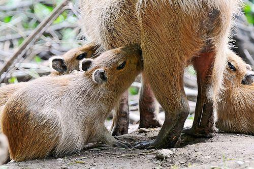 kapibara-malacok