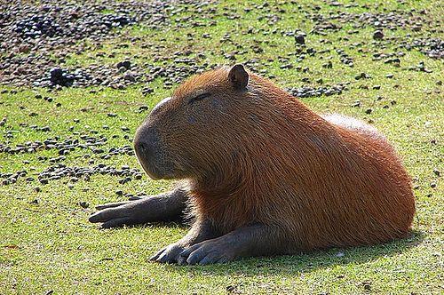 fekvo-kapibara