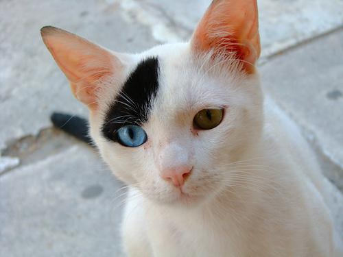 felemas-szemu-macska