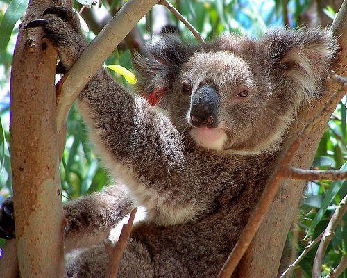 laza-koala