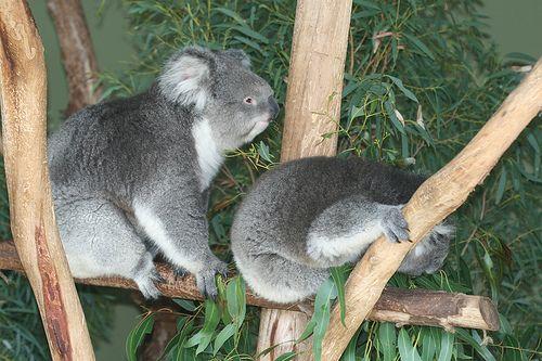 koala-mackok