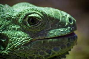 A zöld leguán (Iguana iguana)