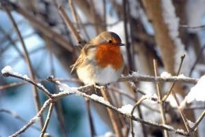 A tartós hideg hatása a madarakra