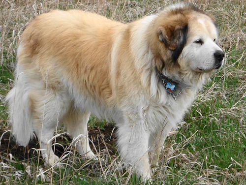 nagytestu-kutya