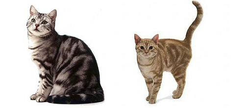 amerikai-rovidszoru-macskak