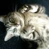 Amerikai rövidszőrű macska (American Shorthair)