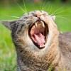 Ha túl hangos a macska