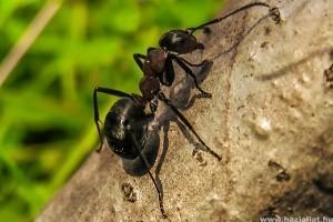 Miért hasznos állat a hangya?