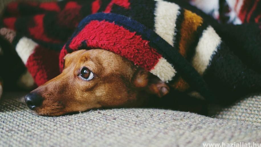 Jelek, amik hasnyálmirigy-gyulladásra utalnak a kutyádnál