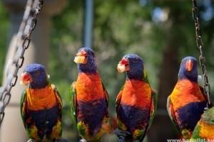 A zsírmáj tünetei és kezelése papagájoknál