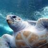 Húgykő problémák teknősöknél