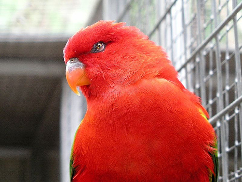 gyanakvo-papagaj
