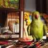 Madár-etológia: amikor a jó papagájok rosszakká válnak