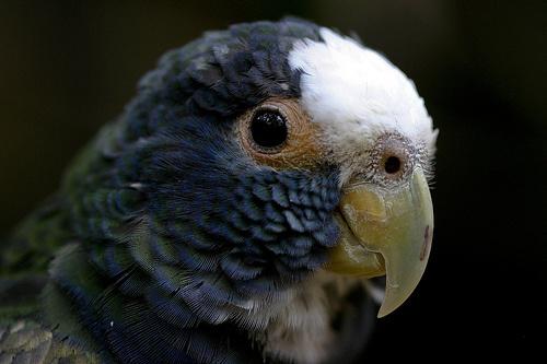 papagaj-portre