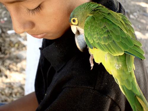 sargas-zold-papagaj