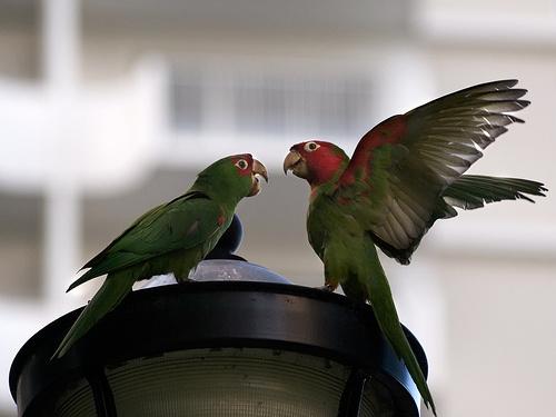 verekedo-papagajok