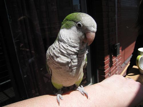 zoldes-feher-papagaj