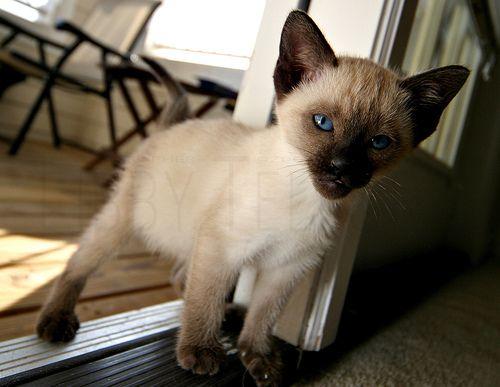 sziami-kiscica