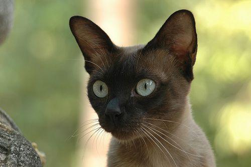 sziami-macska