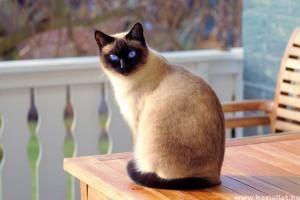 Miért válassz sziámi macskát?