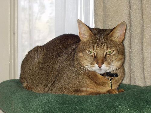 chausie-macskafajta