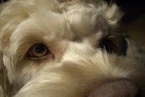 A kutyák négyszer jobban látnak sötétben