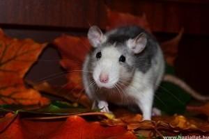 Játékok a patkányok számára