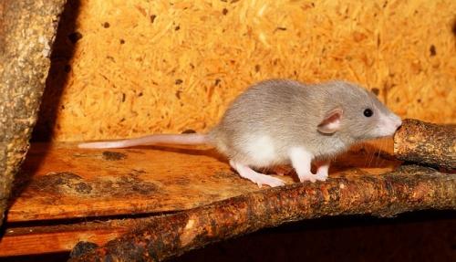 rat-2826736_640