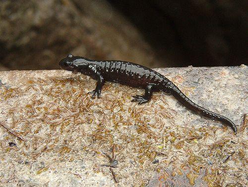 alpesi-szalamandra