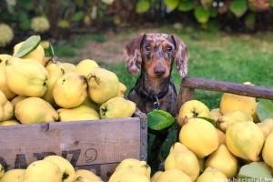 Milyen gyümölcsöket adhatunk a kutyának?