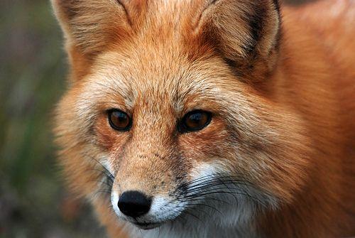 Vadászható vadfajok – Vörös róka