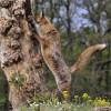 A vörös róka (Vulpes vulpes)
