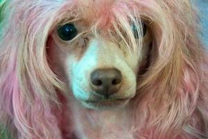 Kutyakozmetika: trimmelés vagy nyírás?