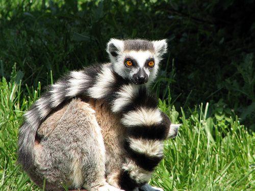 lemur-katta-majom
