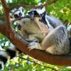 A gyűrűsfarkú maki (Lemur katta) - 2. rész