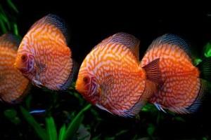 Diszkoszhal az édesvízi akváriumban