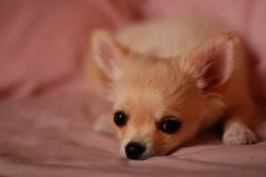 A kutya viselkedési problémái: kiskutya szindróma