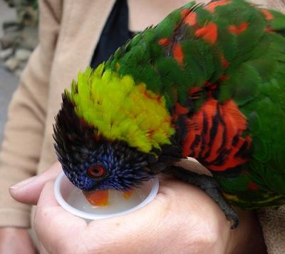 Papagáj iszik