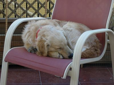 alvo-golden-retriever