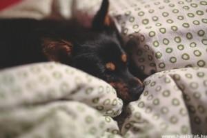 A háziállatokkal való alvás előnyei és hátrányai