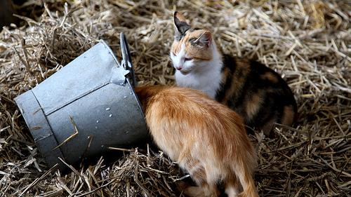 Tejet ivó cicák